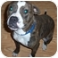 Photo 1 - American Pit Bull Terrier/Boxer Mix Dog for adoption in Claypool, Indiana - Sophie