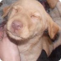 Adopt A Pet :: Trooper(Puppy 2) - Rome, NY