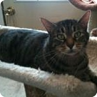 Domestic Shorthair Cat for adoption in Ringwood, Illinois - Barney