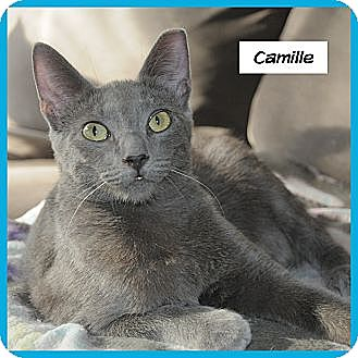 Russian Blue Cat for adoption in Miami, Florida - Camille