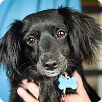 Adopt A Pet :: Dena - Minneapolis, MN