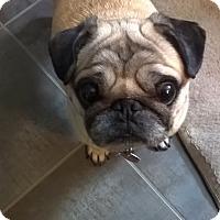Adopt A Pet :: Doogie - Pierrefonds, QC