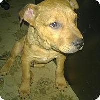 Adopt A Pet :: A320645 Rabbit - San Antonio, TX