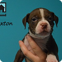 Adopt A Pet :: Broxton - Chicago, IL