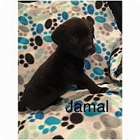 Adopt A Pet :: Jamal - Marlton, NJ