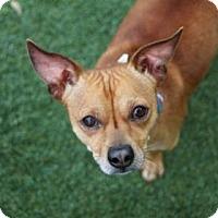 Adopt A Pet :: Opie - Lakeland, FL