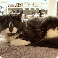 Domestic Longhair Cat for adoption in Atlanta, Georgia - Chester