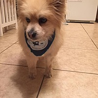 Adopt A Pet :: Buddy 2 - Henderson, NV