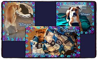American Pit Bull Terrier/Boxer Mix Dog for adoption in Lowell, Indiana - Simon