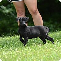 Adopt A Pet :: Phoebe - Groton, MA