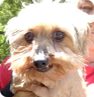 Yorkie, Yorkshire Terrier Dog for adoption in Crump, Tennessee - pheebee Sue
