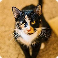 Calico Cat for adoption in Cedar Springs, Michigan - Jasmine