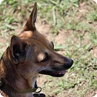 Chihuahua Dog for adoption in Coventry, Rhode Island - Joy