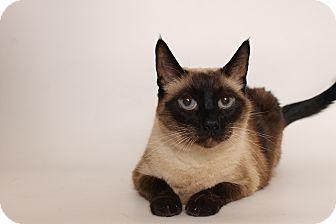 Siamese Cat for adoption in Glendale, Arizona - Izzy