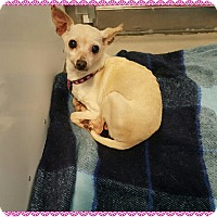 Chihuahua Dog for adoption in Loveland, Colorado - Midge
