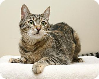 Domestic Shorthair Cat for adoption in Bellingham, Washington - Suzie Q