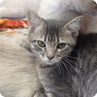 Domestic Shorthair Kitten for adoption in McKinney, Texas - Holly