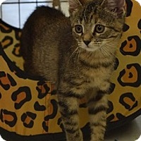 Adopt A Pet :: Lucy-10 WEEKS - Naperville, IL