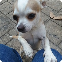 Chihuahua Mix Dog for adoption in Russellville, Kentucky - Bruiser
