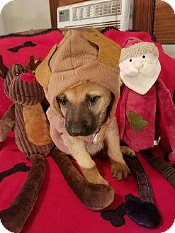 German Shepherd Dog/Retriever (Unknown Type) Mix Puppy for adoption in Detroit, Michigan - Jolly