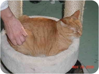 Domestic Shorthair Cat for adoption in Pendleton, Oregon - Garfield