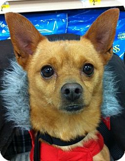 Chihuahua Dog for adoption in Studio City, California - Watson