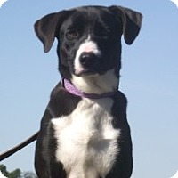 Adopt A Pet :: Adorable baby Dora - Baltimore, MD