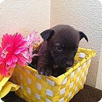 Adopt A Pet :: Sasha - Inglewood, CA