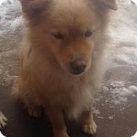 Adopt A Pet :: Charli - Greeley, CO
