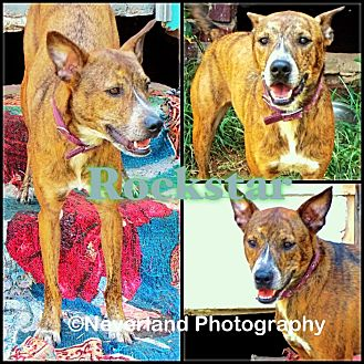 Australian Cattle Dog Mix Dog for adoption in Okmulgee, Oklahoma - Rockstar