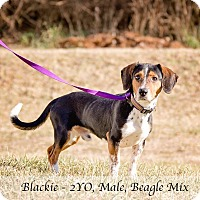 Adopt A Pet :: Blackie - Bristol, TN