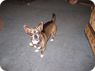Chihuahua Dog for adoption in st peters, Missouri - DK