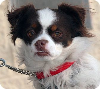 Japanese Chin Mix Dog for adoption in Palmdale, California - Barney