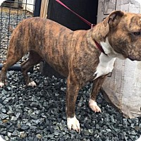 English Bulldog Mix Dog for adoption in Thomasville, North Carolina - Mercedes