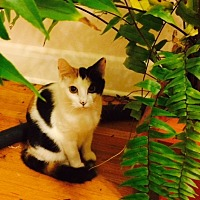 Adopt A Pet :: Tulsi - Chattanooga, TN