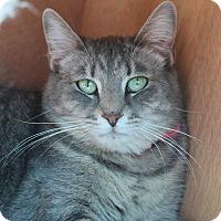 Domestic Shorthair Cat for adoption in Glendale, Arizona - Lisa