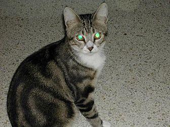 Domestic Shorthair Cat for adoption in Bonita Springs, Florida - Curtis