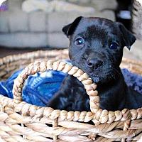Adopt A Pet :: Piglet - Mansfield, OH