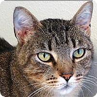 Adopt A Pet :: Gadget - Sherwood, OR