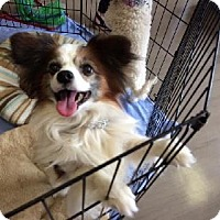Papillon Mix Dog for adoption in Half Moon Bay, California - Joey D