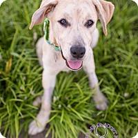 Adopt A Pet :: Summer Rayne - Huntersville, NC