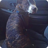 Adopt A Pet :: Ziggy in CT - Manchester, CT