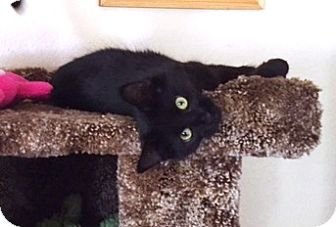 Domestic Mediumhair Cat for adoption in Vacaville, California - Randa