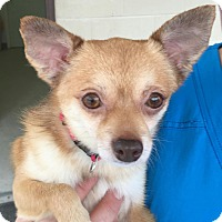 Chihuahua/Pomeranian Mix Dog for adoption in Summerville, South Carolina - Coco
