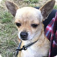 Adopt A Pet :: Brandy - Tumwater, WA