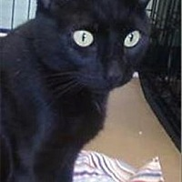Domestic Shorthair Cat for adoption in Freeport, New York - Shadow