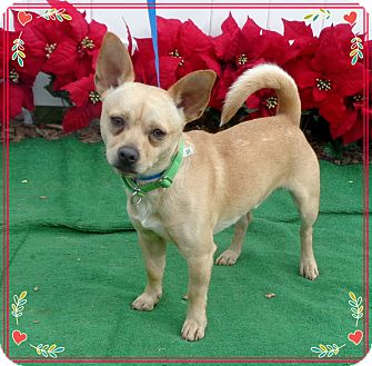 Chihuahua Mix Dog for adoption in Marietta, Georgia - CHOO CHOO (R)