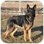 Photo 2 - German Shepherd Dog Dog for adoption in Hamilton, Montana - Adonis-Doni