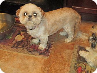 Shih Tzu Dog for adoption in Saint Louis, Missouri - Emma