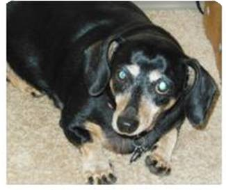 Dachshund Dog for adoption in Portland, Oregon - PEPPER